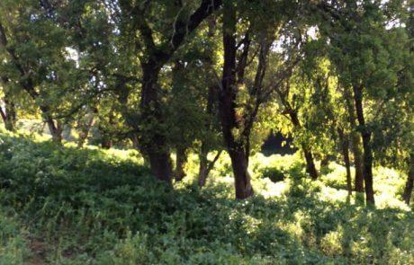 בקשה לשתילת עצים סביב בית העלמין