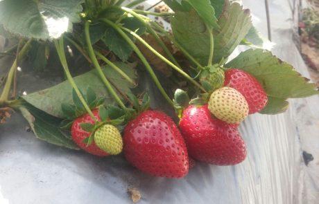 סוף שבוע של תותים-מכירה וקטיף לתושבי קריית השרון ולכל תושבי נתניה